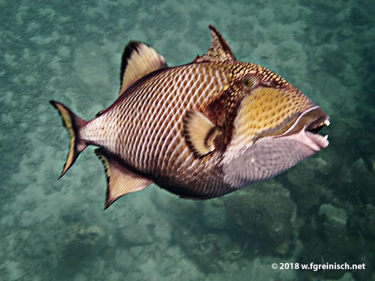 sehr zorniger Grosser Drueckerfisch