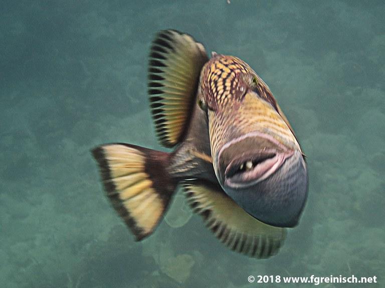 Grosser Drueckerfisch im Angriffsmodus
