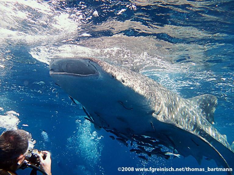 Der Walhai und ich